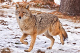 Oakville told to learn to live with coyotes