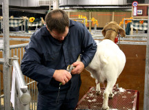 Grooming goats for competition.