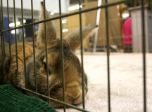 A Holland Lop at the education center on rabbits.