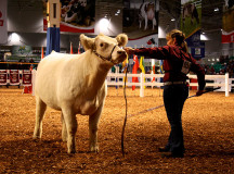 Youth cattle competition.
