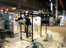 Grooming cows for competition.