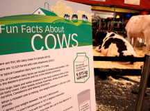 Facts about cows at the Royal Fair.
