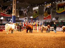 Cattle are line up for youth competition.