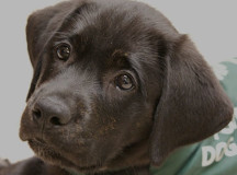Frito, a 10-week-old black lab in the Dog Guides program, is being fostered by Sam Hobbes who works for the program. Applications to foster a puppy are at www.dogguides.com.