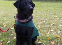 "Rhiannon, a two-year-old black lab, was fostered by Michel Hannan until the dog was chosen for the breeding program. ""Now she's kind of my pet dog,"" says the Sheridan animation teacher."