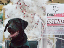 Déja, dog guide in training, poses at the dog guides table, where there was a donation bin.