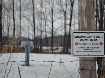 Before it was known for maple syrup, this park was well known for its famous strawberries, which were donated by Stonehaven Farms in Campbellville.  Unfortunately, they cannot grow in this unforgiving winter.