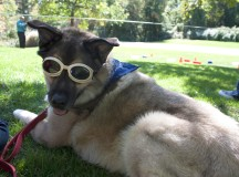 Farley, a German shepherd and husky mix, cools off in the shade on the hot Sunday afternoon.