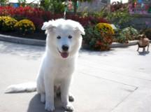 Snow, a samoyed, enjoys the sunshine at the Dog Fest.