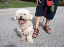 Sandy, a six-year-old bichon poodle, is ready to go home after enjoying the day with her owner Dawn Anselm (not pictured).