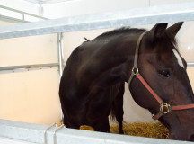 Solero after the horse show at Harvest Halton returned to his stable for grooming and food.