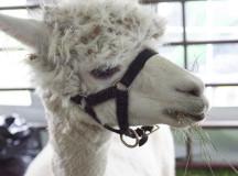 Calvin's mom, Sarah was another present alpaca.