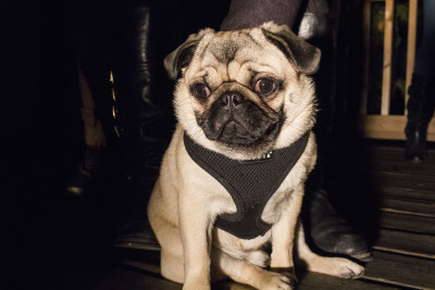 "Helmut Newton, better known as Helmut the Pug, is the 7-month-old pup behind the Instagram hit clip, ""Pugline Bling""."
