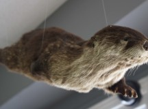 A taxidermied otter.