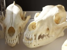 A pair of red wolf skulls.
