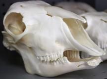 The skull of a lamb.