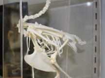 A fully assembled pigeon skeleton.