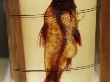 A fish preserved in alchohol.