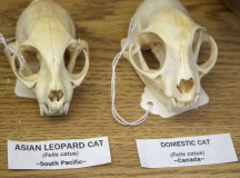 A comparison between a leopard cat and a domesticated house cat.