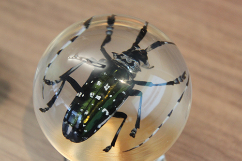 The Asian Longhorned Beetle, situated within an acrylic ball.